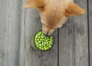 Dog eating peas